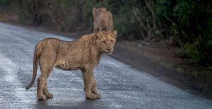 lion one of the african big 5