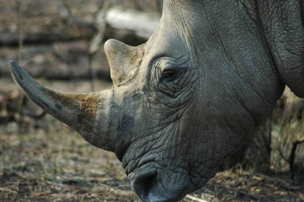 Hluhluwe Game Reserve Rhino