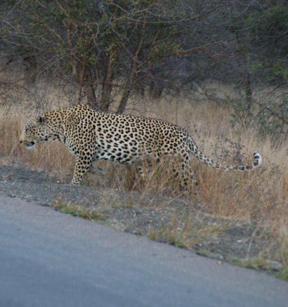 Hluhluwe Game Reserve Leopard