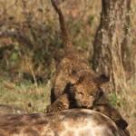Hluhluwe Game Reserve lion cub