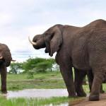 Elephants drinking umfolozi