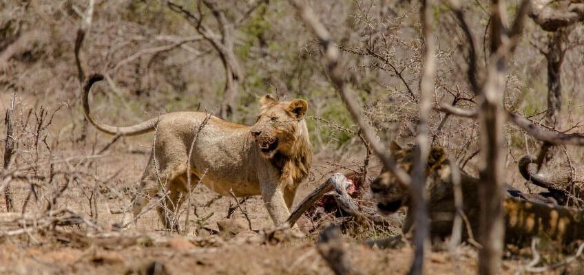 Elephants, Rhino's and Lions
