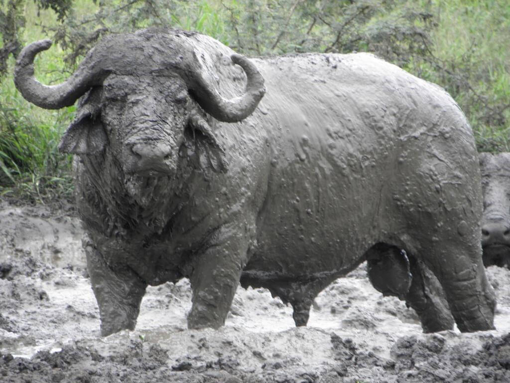 Buffalo Mud Bath Hluhluwe Game Reserve