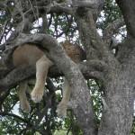 lioness cooling down hluhluwe park