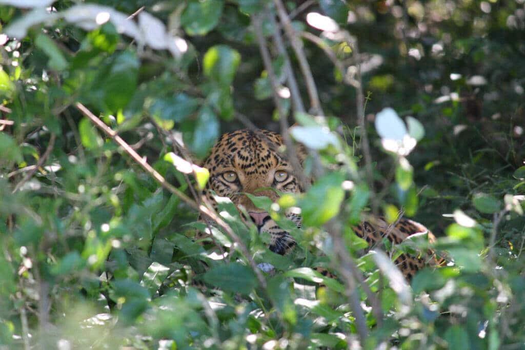 Hluhluwe Safari Leopard
