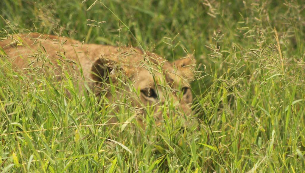 Lioness Stalking In Grass  Lioness Stalkin...