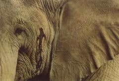 elephant in musk