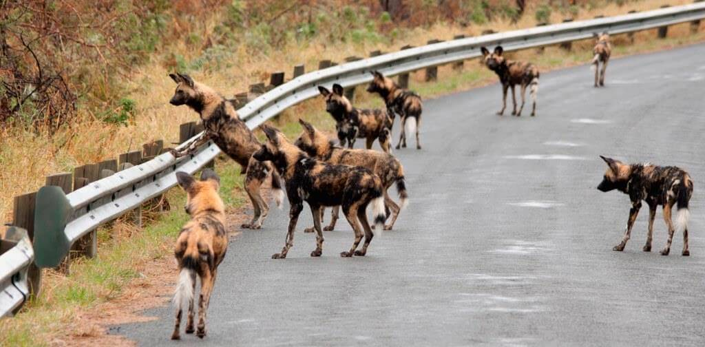 pack of african wild dogs in umfolozi