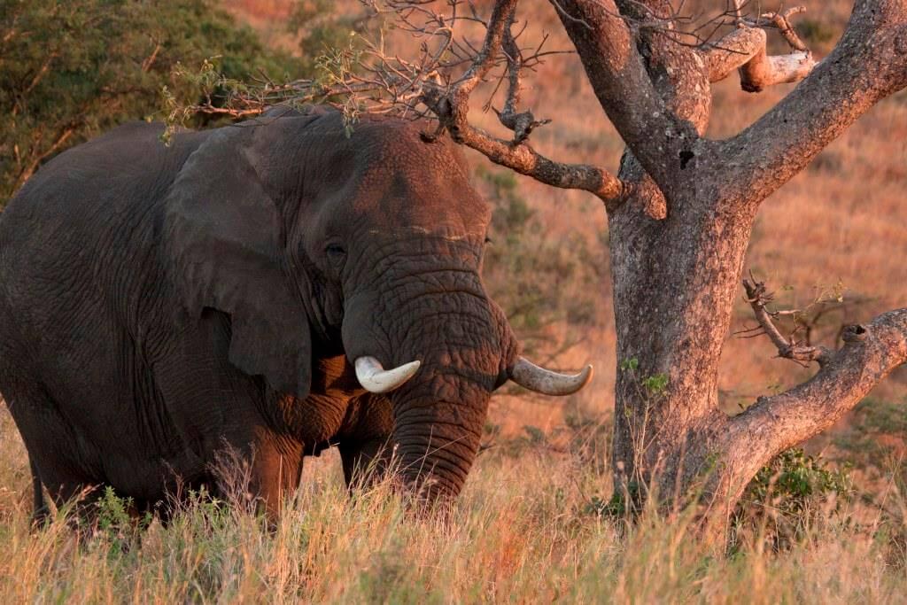 elephant imfolozi park