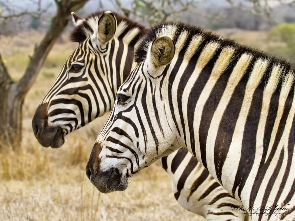 Related Pictures zebra mating with a horse