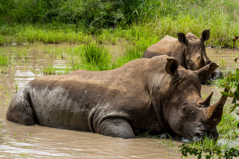 Lion Kill and Rhino's Bathing