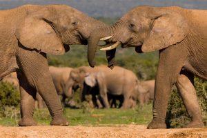 african big elephant