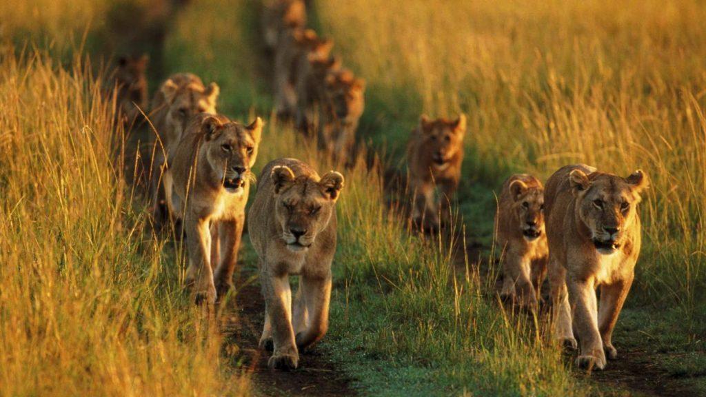lions hluhluwe