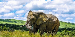 elephants in hluhluwe