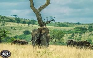 imfolozi game reserve elephant