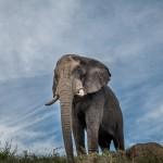 hluhluwe elephant
