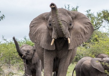 Elephant encounter- iMfolozi Park