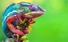 hluhluwe chameleons