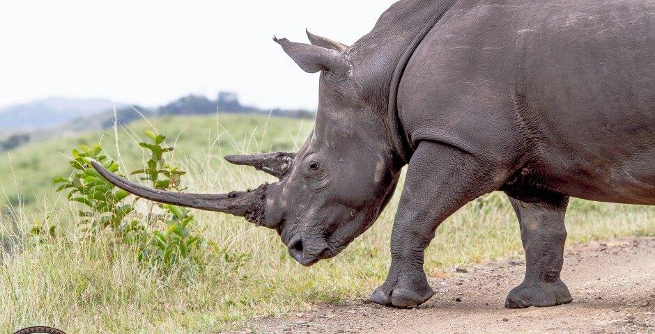 hluhluwe-imfolozi park rhino conservation