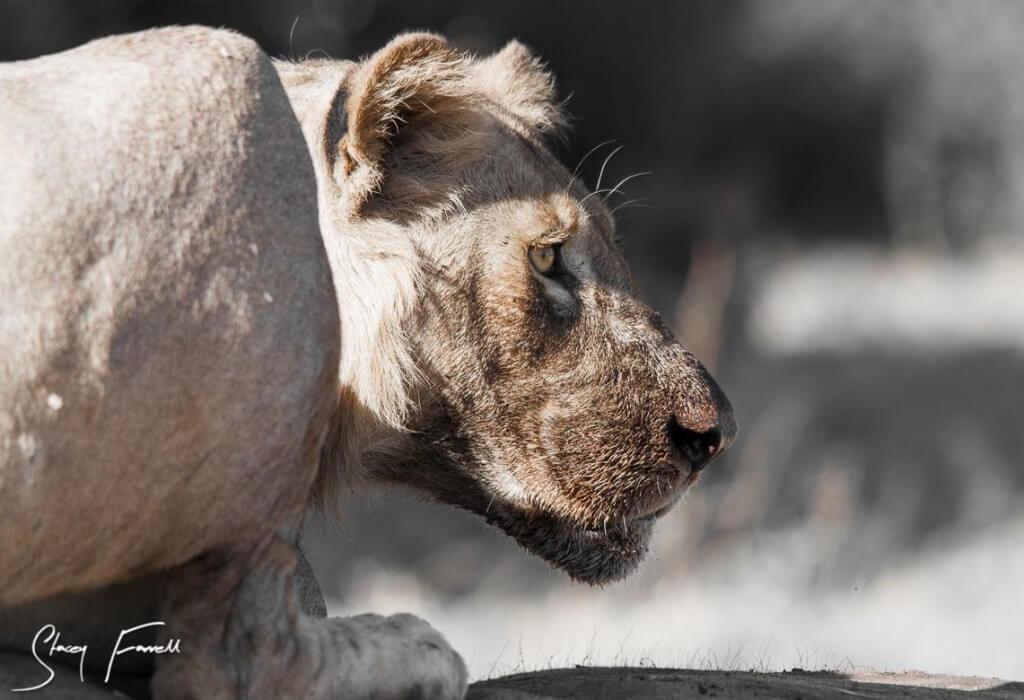 Lion umfolozi