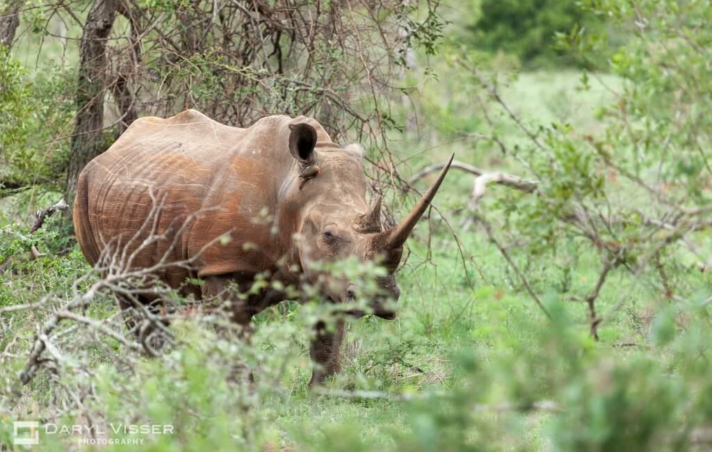 Rhino Hluhluwe