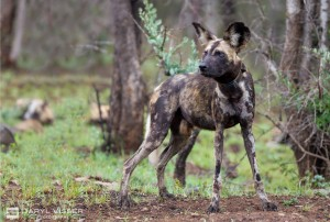 painted wild dogs hluhluwe
