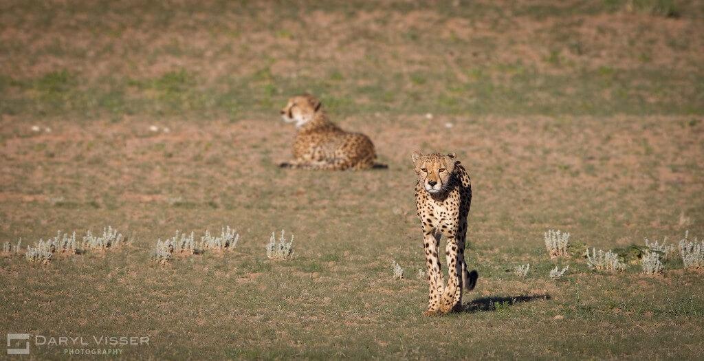 imfolozi cheetah