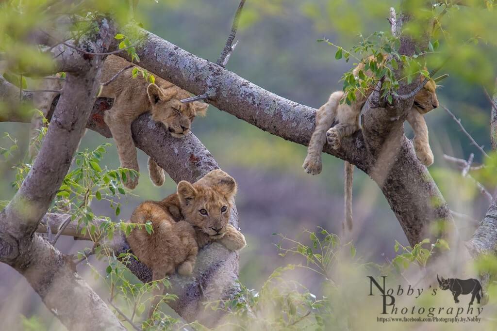 hluhluwe umfolozi lions in trees