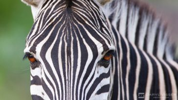 Inquisitive Hluhluwe Umfolozi Zebra
