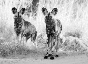 Wild Dogs Hluhluwe KZN