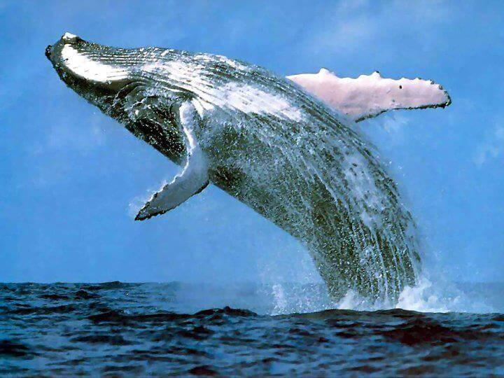 cape vidal whales