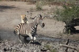 lion chase imfolozi park