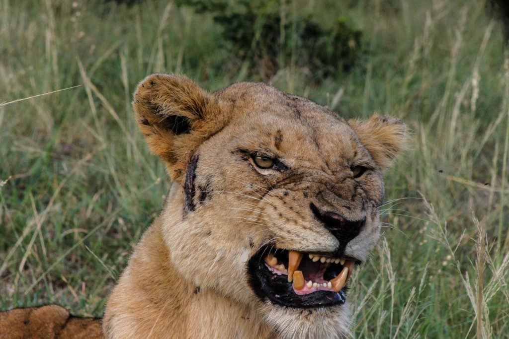 hluhluwe lion