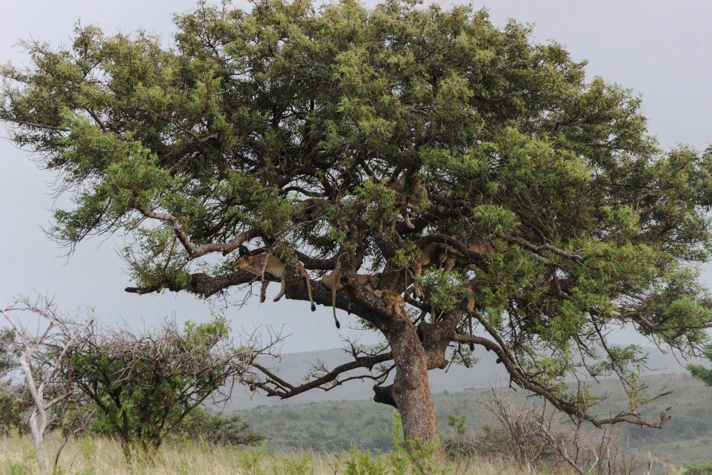 hluhluwe-imfolozi lions in trees again 2016