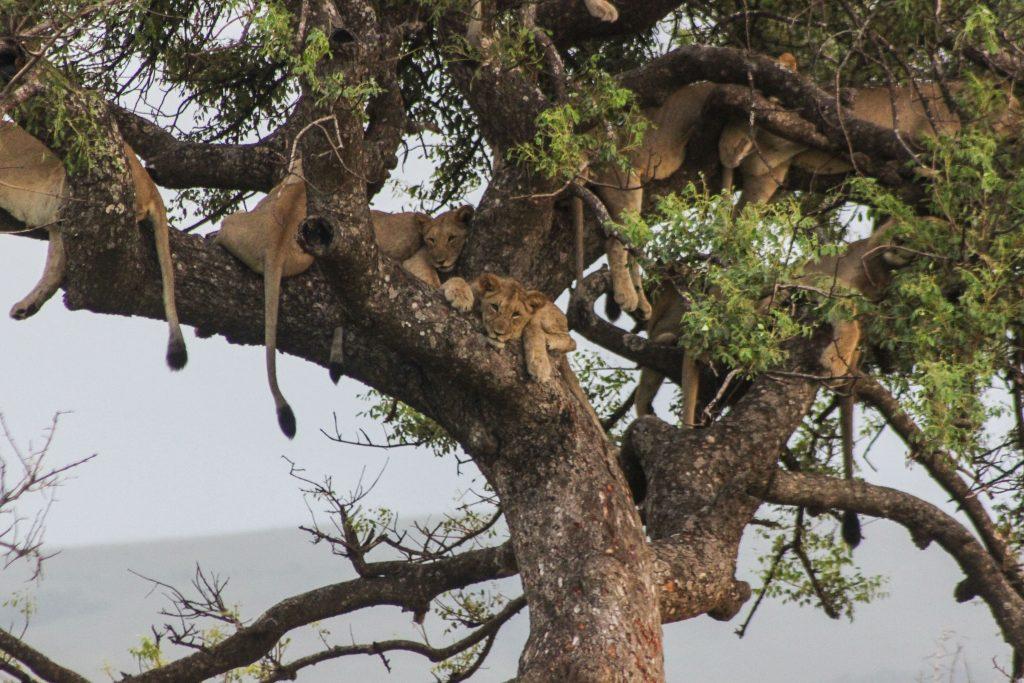 hluhluwe-imfolozi park pride of lions in trees