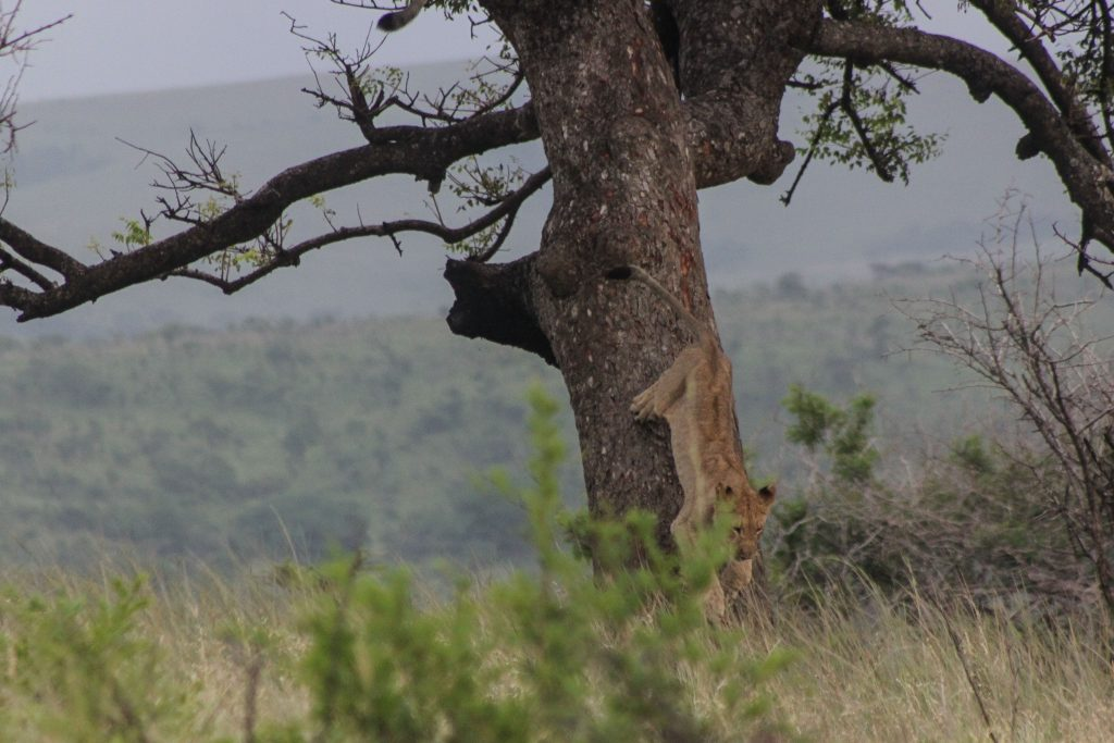 splendid lions in trees