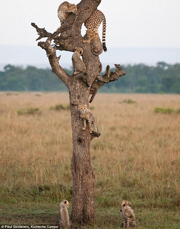 cheetahs in tree