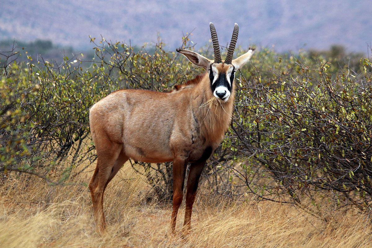 roan antelope kruger park