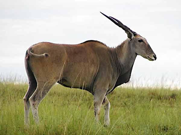 eland antelope kruger park
