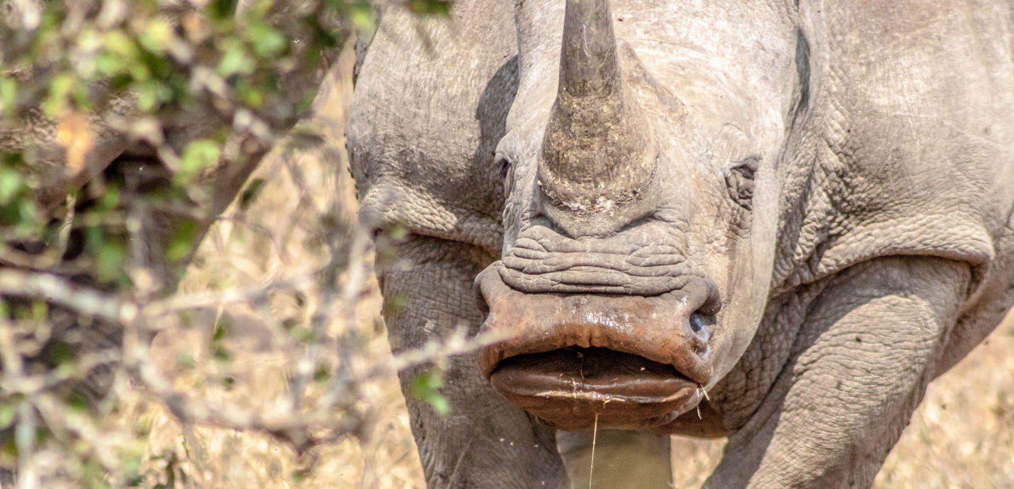 White Rhino name Why