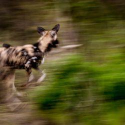 wild dogs on big 5 south african safari