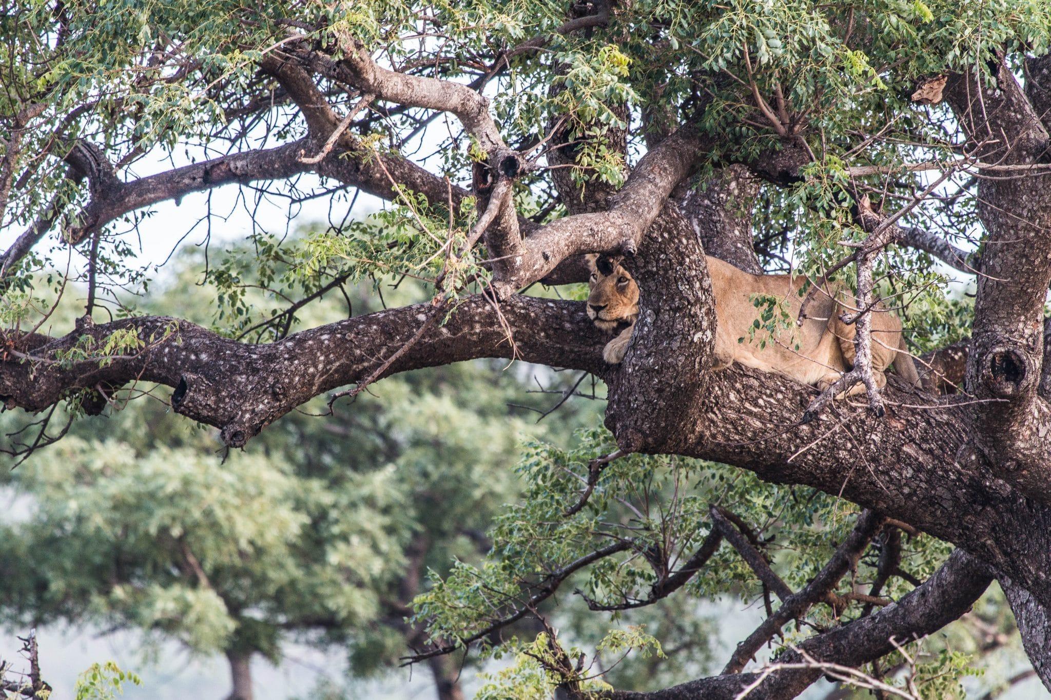 zululand south africa xmas tree