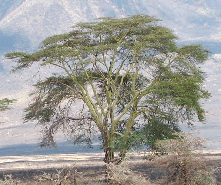 hluhluwe Fever Tree - Vachellia (Acacia) xanthophloea