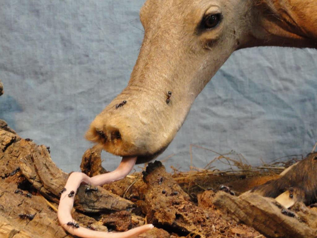 aardvark tongue