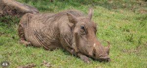 warthog Facts