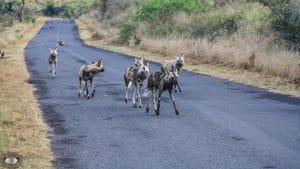 wild dog pack members