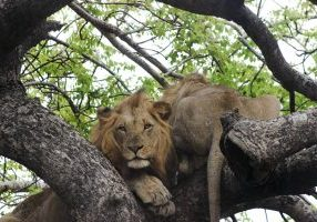 2016 summer Lions in trees