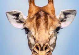 hluhluwe-imfolozi park giraffe chewing bone